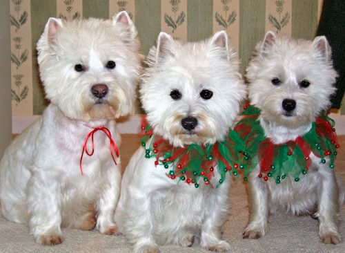 westie puppies wallpaper