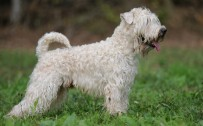 wheaten terrier wallpaper