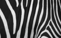 colored zebra print wallpaper