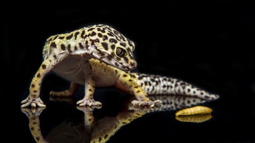 leopard gecko wallpaper