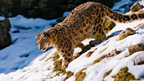 leopard snow wallpaper