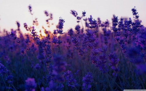 desktop lavender wallpaper